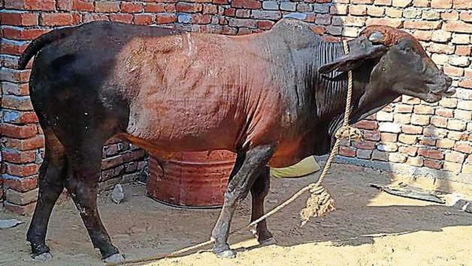 The family plans to send the bull to a cowshed with the hope that a worker there will find the ornaments and return them.