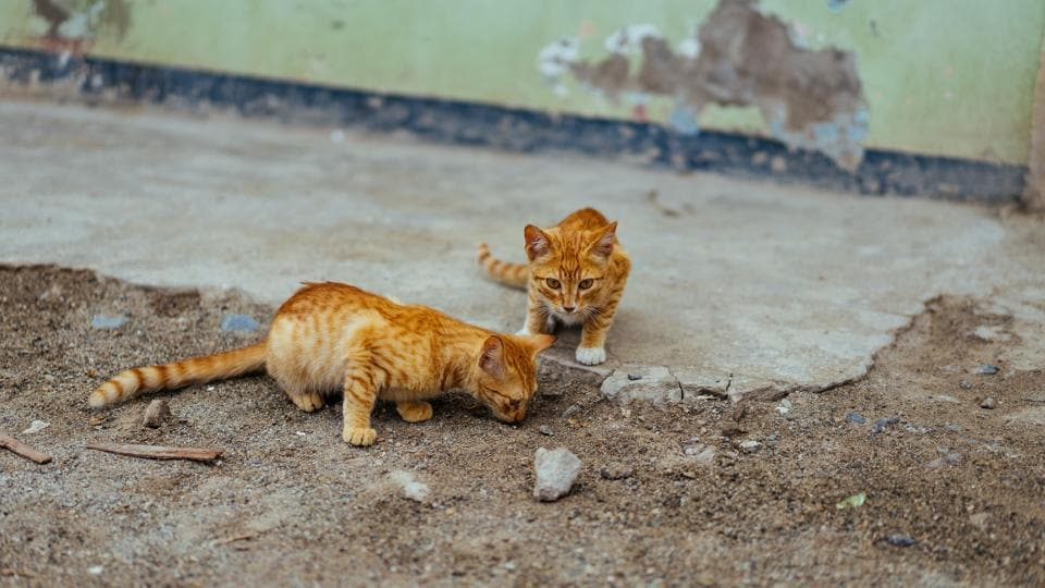 Both the cats are safe and doing well (representational image).