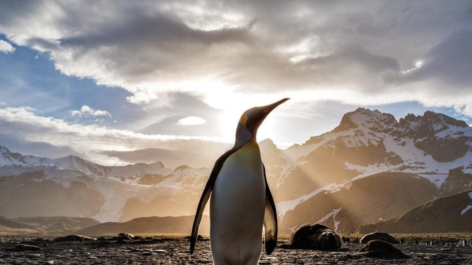 Waddling up the beach in single file, their heads held high with an almost self-important demeanor, king penguins are a major draw in the Falkland Islands' tourism industry.