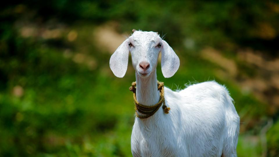 A herd of 500 goats helped save California's Ronald Reagan library from a wildfire.(representational image)