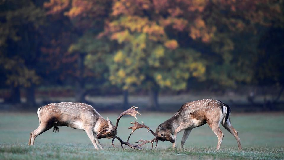 Deer clash as they fight during the rutting season in Richmond Park, west London, England. (Toby Melville / REUTERS)