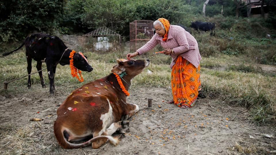 A woman offers prayers to a cow during a religious ceremony celebrating the Tihar festival, in Kathmandu, Nepal. (Navesh Chitrakar / REUTERS)
