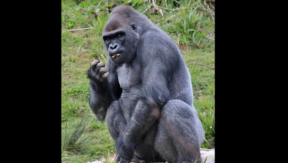 This polite and adorable gesture of the gorilla has made netizens gush.
