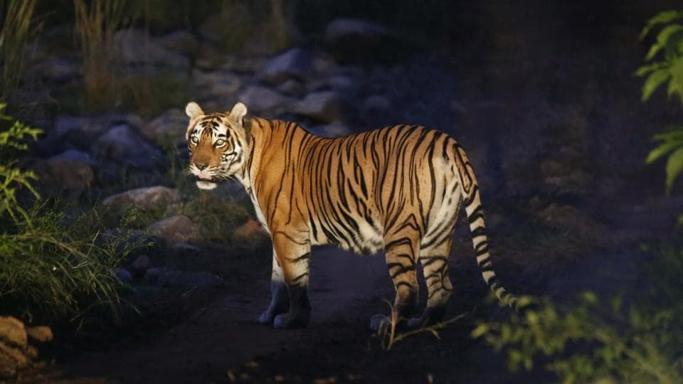 A forest department official, said that at least 11 tigers and tigresses were poached, electrocuted or poisoned in 2019. Image used for representation
