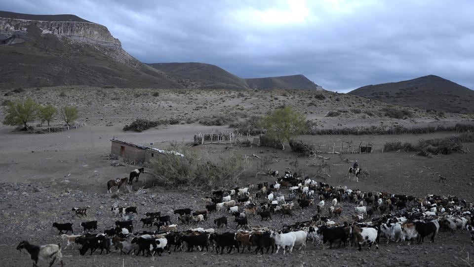 A view of goats as they are herd in El Alambrado, 136 Km from Malargue, Mendoza province, Argentina. Goat breeders scattered along the Andes foothills here are on the frontline of climate change, devoid of the safety net of irrigation canals utilized by neighbouring farms or by Mendoza's vineyards, where Argentina's highly prized Malbec wines are produced. (Andres Larrovere / AFP)