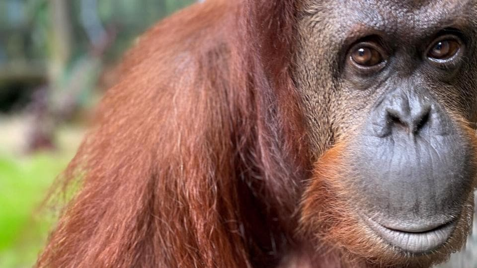 A 33-year-old orangutan granted legal personhood by a judge in Argentina is settling into her new surroundings at Florida.
