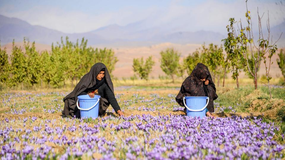 Women harvest saffron flowers in a field at Herat province, Afghanistan.  (Hoshang Hashmi / AFP)