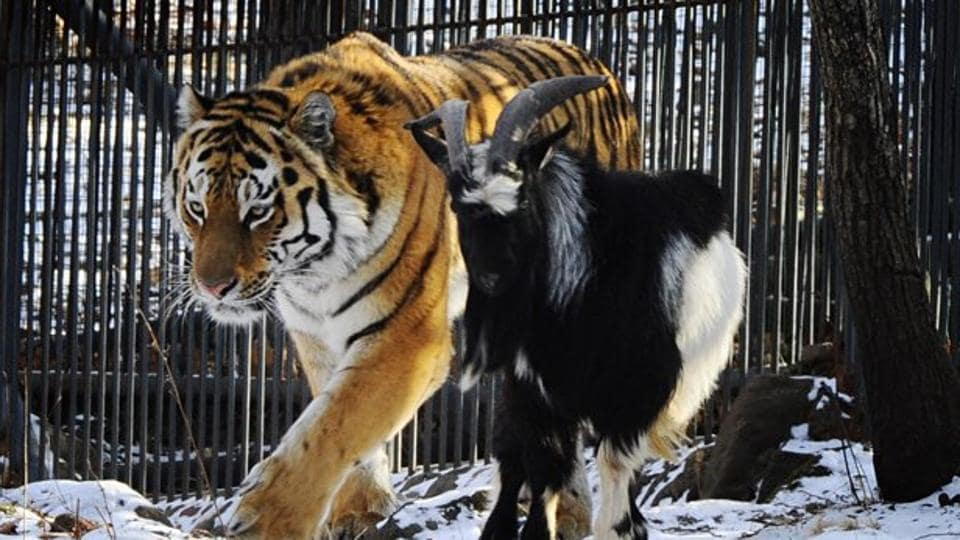 Image of Russian goat Timur with its unusual friend - a tiger.