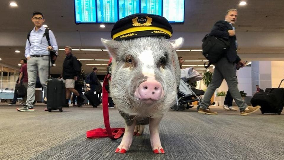 LiLou the therapy pig stands in front of a departures board at San Francisco International Airport in San Francisco, California, U.S. October 4, 2019. Picture taken October 4, 2019.