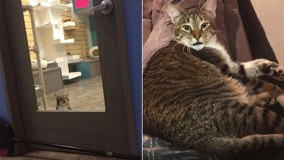 The cat named Quilty stays in a rescue shelter.