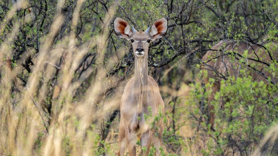 A kudu stands dazzled in the drought stricken Hwange National Park, in Zimbabwe. Th Zimbabwe's wildlife agency said Monday it would move hundreds of elephants and other animals in a dramatic bid to save them from a lethal drought. The animals will be moved from Save Conservancy, a major park in southeastern Zimbabwe, to three other game reserves. (ZINYANGE AUNTONY / AFP)