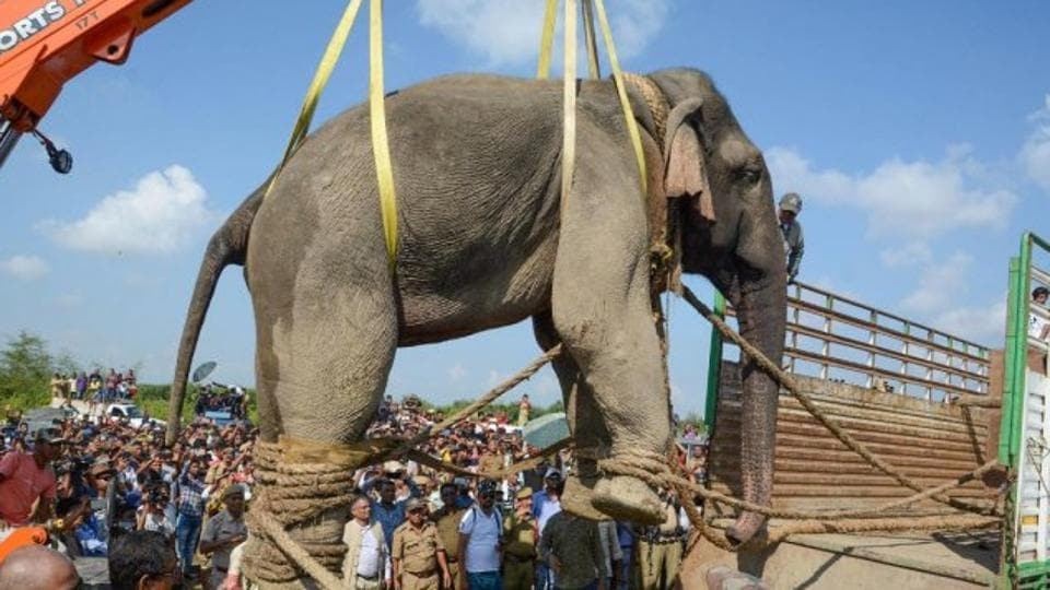 The wild elephant named Krishna being hauled to a truck by a crane on November 12 to be taken to Orang National Park.