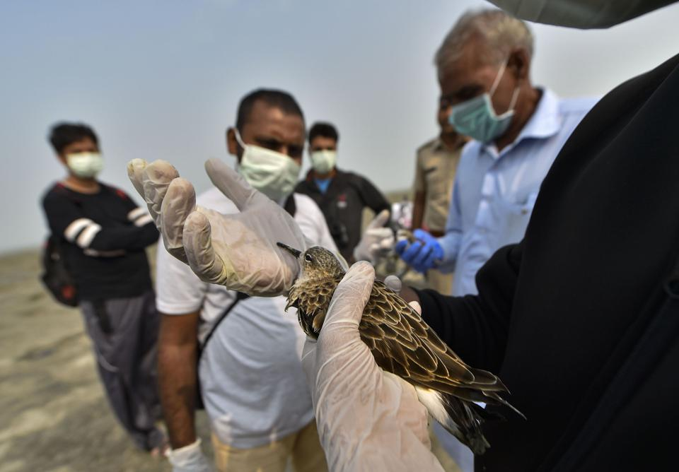 Veterinary doctors provide first aid to a bird at the Sambhar Salt Lake in Rajasthan.