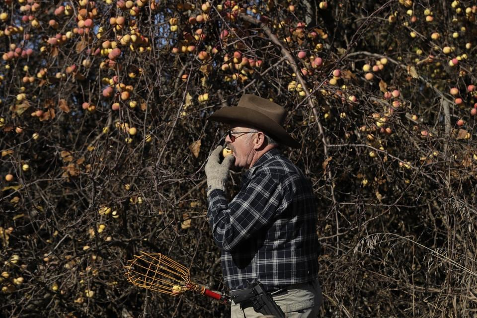 Botanist E.J. Brandt, of The Lost Apple Project, bites an apple he picked from a tree in an orchard near Troy, Idaho. Brandt and fellow botanist David Benscoter have rediscovered at least 13 long-lost apple varieties in homestead orchards, remote canyons and windswept fields in eastern Washington and northern Idaho that had previously been thought to be extinct. (Ted S. Warren / AP)