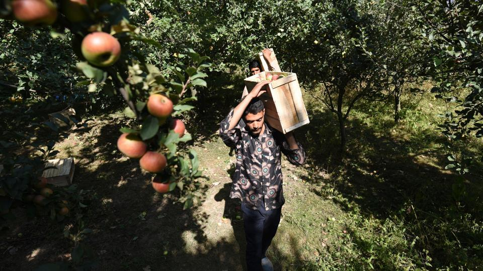 A farmer carries a box of freshly plucked apples during the harvesting season, at the outskirts of Srinagar, Jammu and Kashmir.