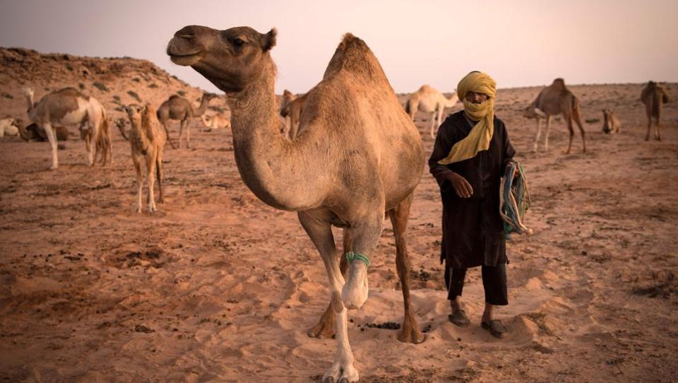The 266,000 square kilometres (106,400 square miles) of Western Sahara under Moroccan control hosts some 6,000 herders, 105,000 camels, and 560,000 sheep and goats, according to figures from Rabat. In other arid countries, including Saudi Arabia, intensive farming of camels has taken off. But, while Moroccan authorities have undertaken several studies into developing Western Sahara's camel industry, these have not so far been acted upon.  (FADEL SENNA / AFP)