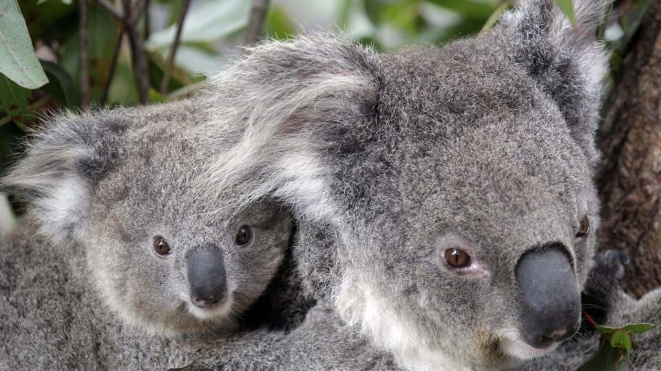 Experts Have Declared Koalas