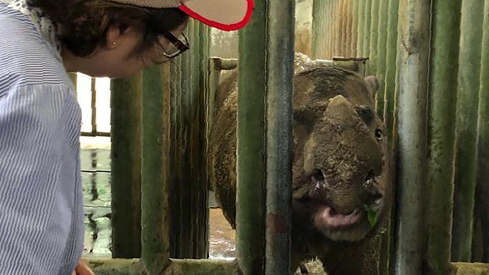 """In this Aug. 18, 2019, photo, Sabah Deputy Chief Minister Christina Liew, left, looks at rhino """"Iman"""" in cage in eastern Sabah state . The Sumatran rhinoceros has become extinct in Malaysia, after the last of the species in the country succumbed to cancer. The Wildlife Department in eastern Sabah state on Borneo island says the rhino died of natural causes Saturday, Nov. 24, due to shock in her system."""