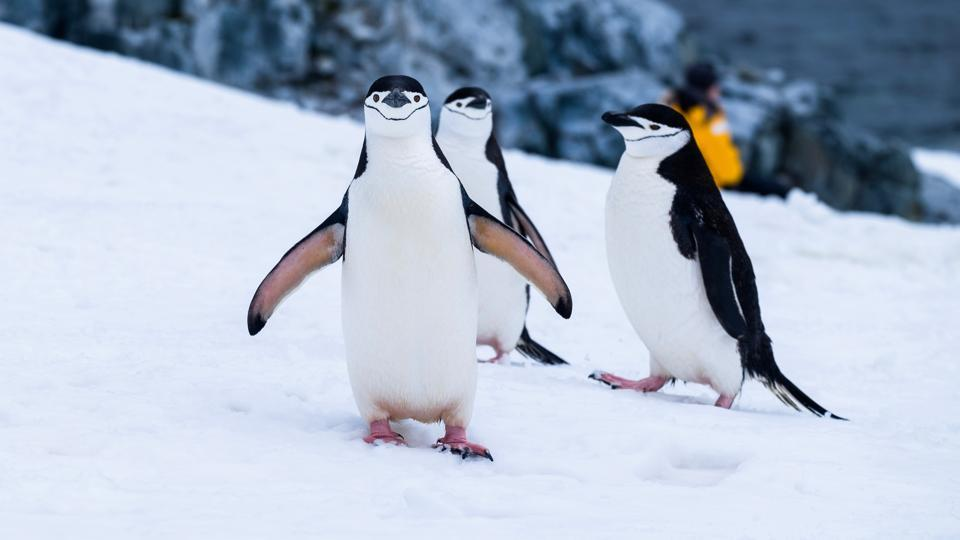 On Half Moon Island, chinstrap penguins -- named for the black stripe on their chin -- strut about in the spring breeding season, raising their beaks and screeching from their rocky nests. (REPRESENTATIONALIMAGE)