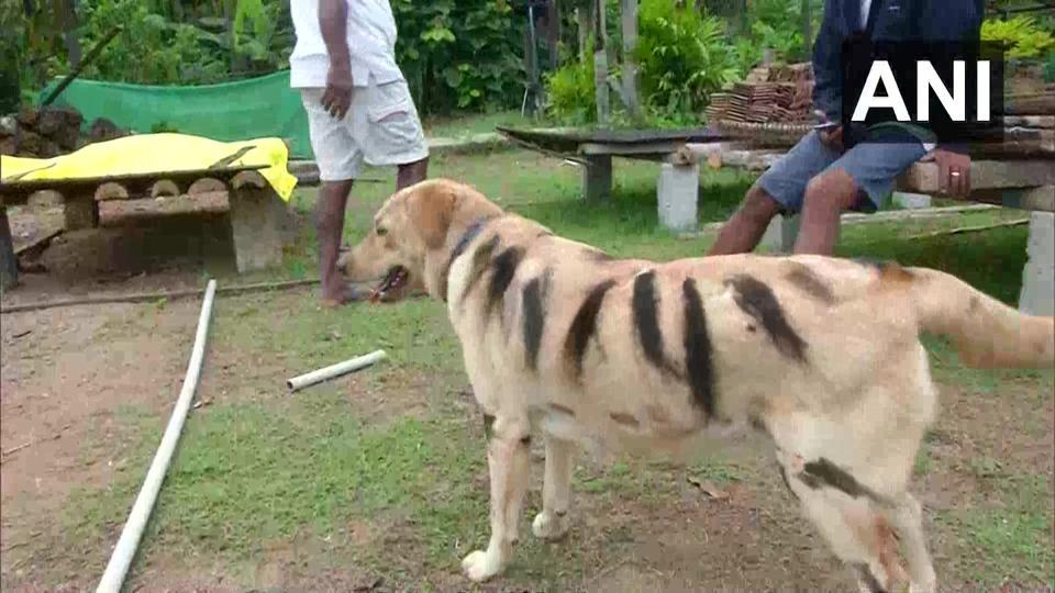 Images shows a dog painted as a tiger in Karnataka.