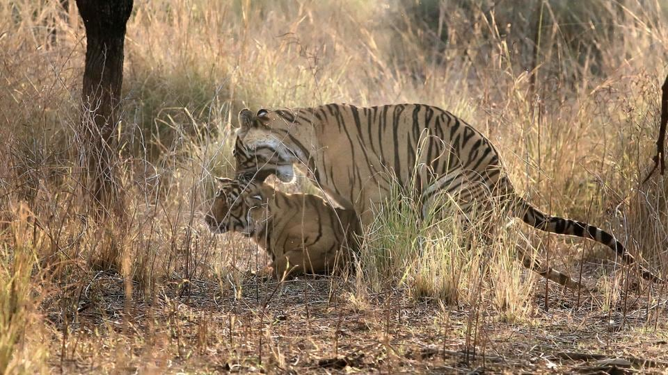 Tiger and Tigress in Ranthambore Tiger Reserve, Sawai Madhopur. Experts said that the corridors cover almost all major areas witnessing tiger movement.