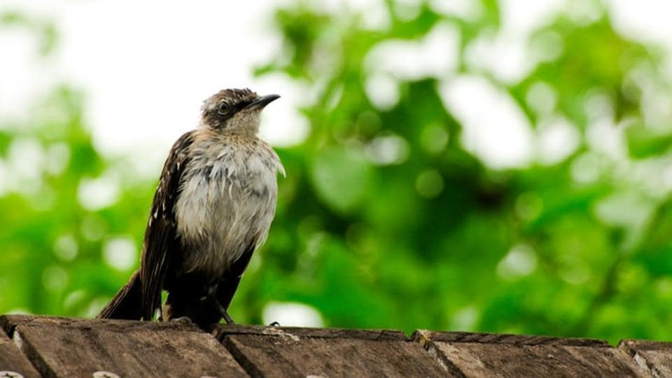A related question is raised to the domestic ornithological organisations undertaking avian studies having not come up with texts comparable to those available in overseas markets, on Indian bird species.