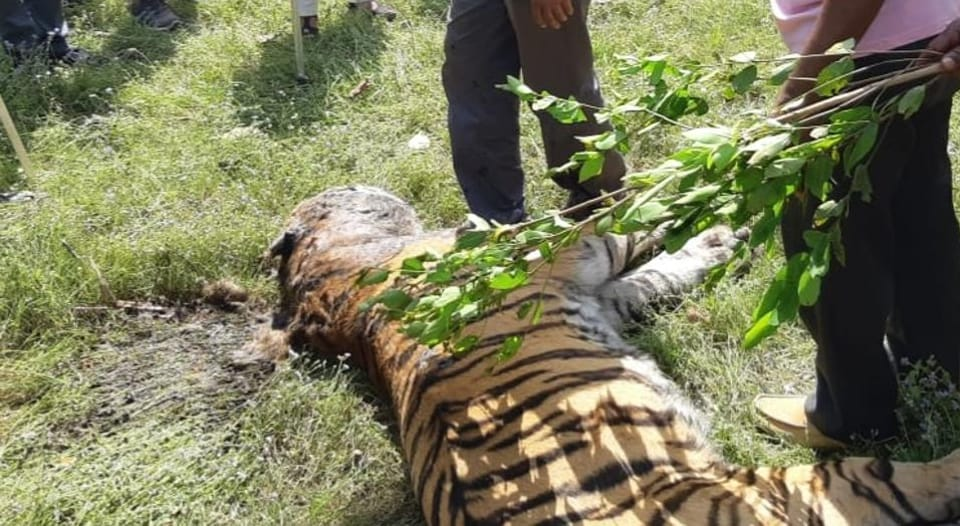 The carcass of the big cat was found last week n  the Motinala buffer zone of Kanha Tiger Reserve.