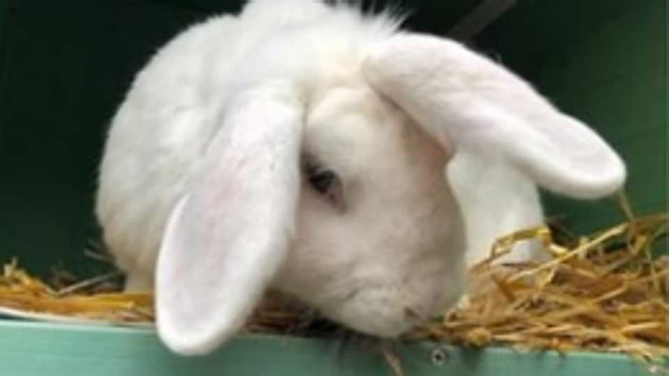 Wonky, a cute and fluffy white rabbit, is winning over the Internet.