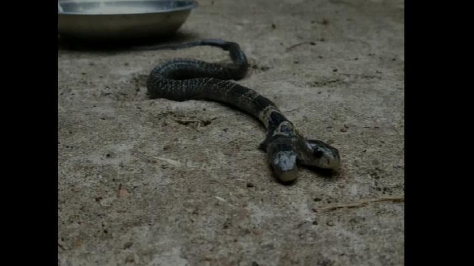 A two-headed snake was found in the Ekarukhi village of Belda forest range in West Bengal's Midnapore city.