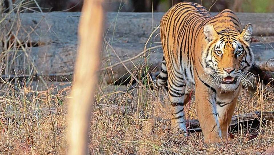 Pench National Park is the place to be if you want to get up close and personal with the big cats. A guide for first-time visitors .