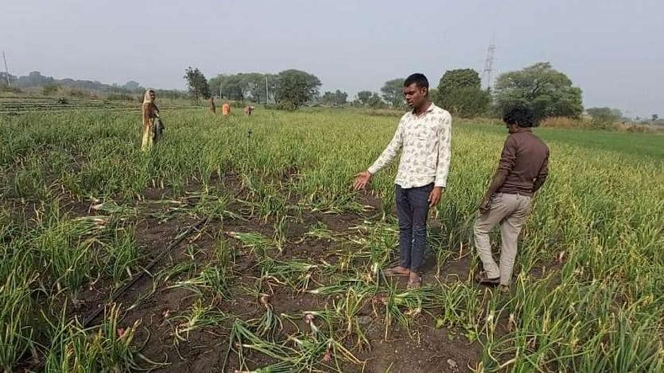 Farmers in several onion-growing areas of Madhya Pradesh have started keeping a round-the-clock watch on their fields after more than a dozen cases of theft of the pricey bulb was reported.