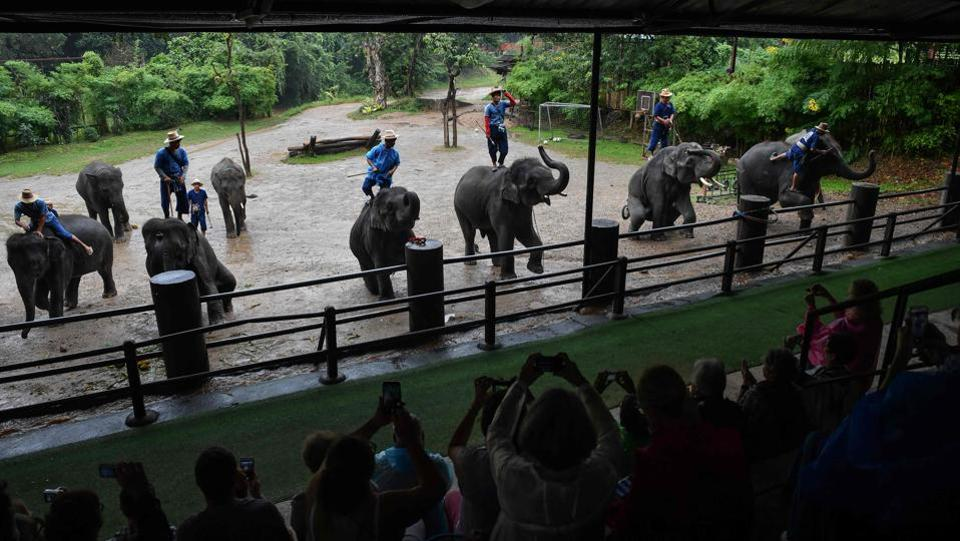 Elephants being forced to perform for tourists at the commercial Mae Taeng Elephant Park in Chiang Mai. A tamed elephant can now fetch up to $80,000, a colossal investment that then requires gruelling hours of work and increasingly bizarre stunts to be recouped. (Lillian Suwanrumpha / AFP)