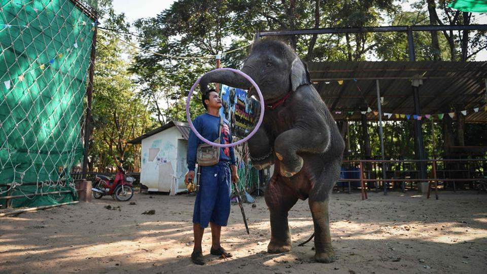 "Baby elephant Ploy trains to perform tricks at the Ban Ta Klang elephant village, Surin. Villagers in the village who have been working with the large, gentle animals for generations, say taming is necessary for safety reasons. ""We do not raise them to hurt them... if they are not stubborn, we do nothing to them,"" said mahout Charin, as he stroked Ploy's head affectionately and spoke of her as part of his family. (Lillian Suwanrumpha / AFP)"