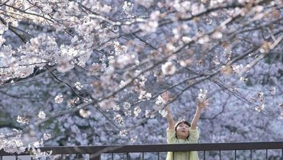 A girl enjoys cherry blossom season in Meguro.