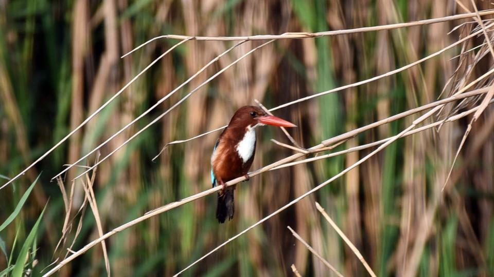 A White-throated kingfisher seen at Mangalajodi wetland, a part of Chilika Lake. Apart from sighting of the new species, more number of feathered guests have visited the vast lake this winter compared to the previous winters, said Divisional Forest Officer (DFO) Chilika wildlife division, Alok Ranjan Hota to PTI. (Arabinda Mahapatra/HT Photo)
