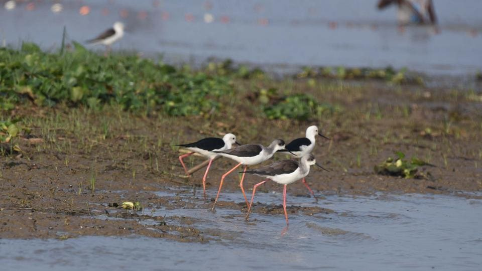 Black-winged stilts seen at Mangalajodi wetland, a part of Chilika Lake. PTI reports that  the increase in number of migratory birds in the lake is attributed to the safety measures taken by the wildlife authorities and improvement of the habitat in the lake. (Arabinda Mahapatra/HT Photo)