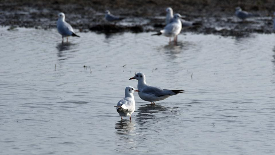Brown-headed gulls at Mangalajodi wetland, a part of Chilika Lake. Bird watchers are excited over the re-sighting of a number of birds after around five years in the Chilika lake, the biggest waterfowl habitat in the country, this winter. (Arabinda Mahapatra/HT Photo)