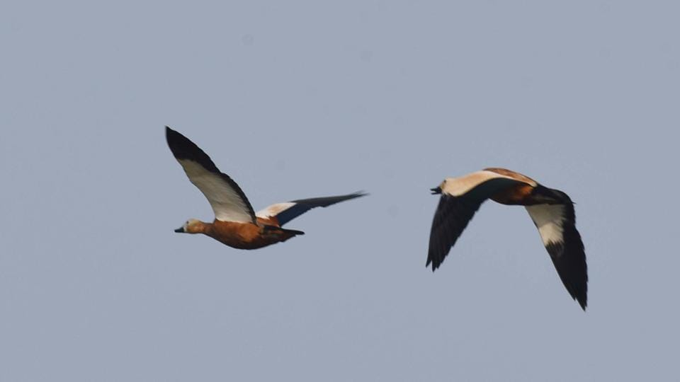 Ruddy shelducks seen at Mangalajodi wetland. Among the different species the highest number was that of Gadwall (2,05,883) followed by Northern Pintail (1,82,177) and Eurasian bill (1,43,418) visited the lake, sources said to PTI. (Arabinda Mahapatra/HT Photo)
