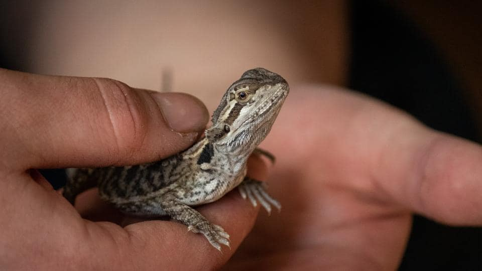 The man admitted to illegally importing more than 20 live water monitor lizards (representational image).