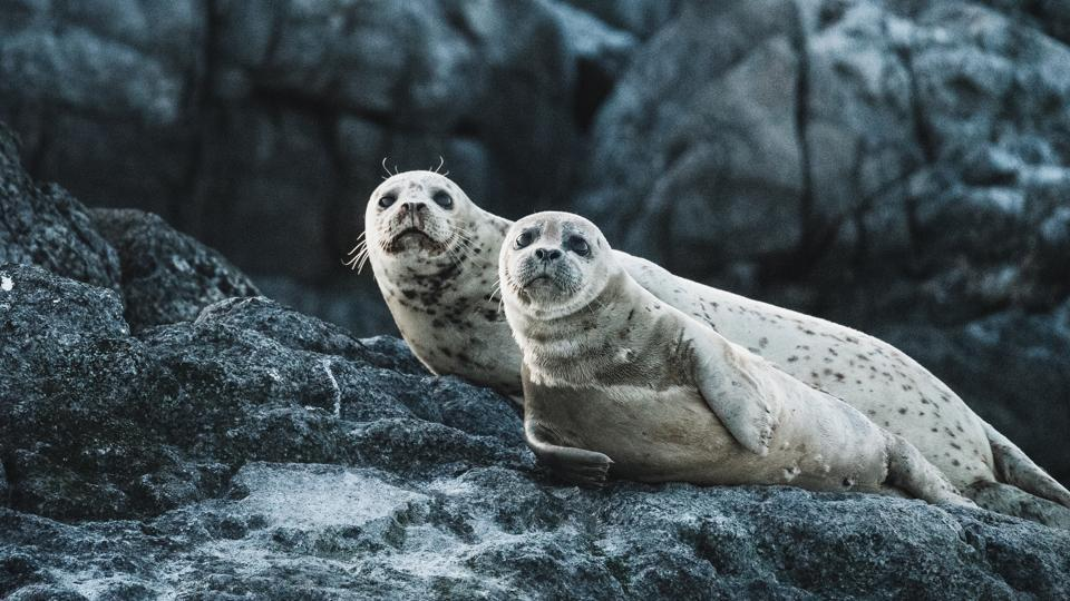 Dozens of tourists come each day to see the white-furred seal pups (representational image).