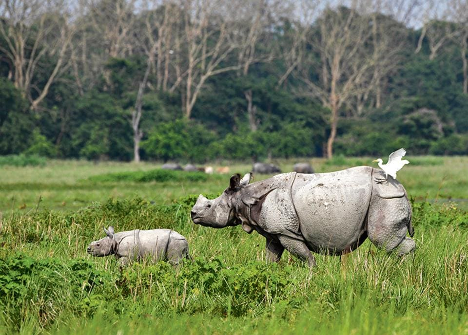 An Indian one-horned rhinoceros and its baby at the Pobitora Wildlife Sanctuary in Assam.