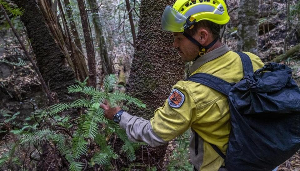 Specialist firefighters have saved the world's last remaining wild stand of a prehistoric tree from wildfires that razed forests west of Sydney.