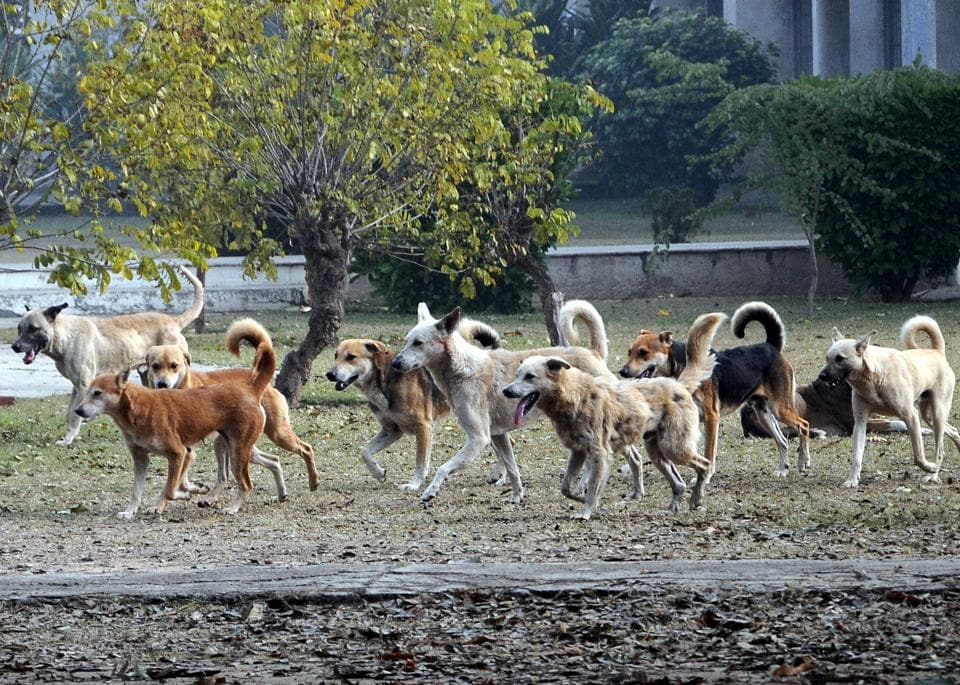A pack of stray dogs roaming near physical education department at Punjabi University in Patiala on Thursday.