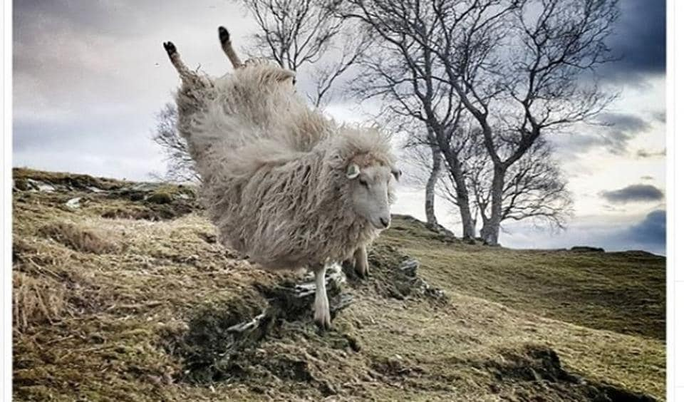 The Norwegian account @worlds_coolest_sheep features the adventures of Odlaug, a sheep that revels, luxuriant fleece and all, in posing for mid-air jumps across the countryside.