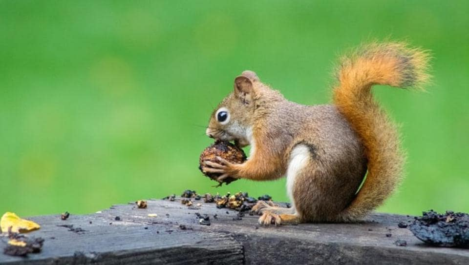 The study found that grey squirrels who strongly favoured one side had to learn to use a paw, rather than their mouth to get nuts.