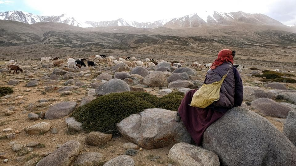 A Changpa nomad shepherd pastures pashmina goats near Korzok village, in Leh district, Ladakh. For centuries the Changpa have tended the shaggy goats that provide silky-soft, super-expensive pashmina wool. But now many are rethinking their way of life, in part because of climate change. (Noemi Cassanelli / AFP)