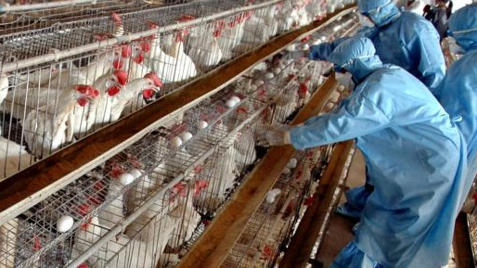 Secretary of Fisheries and Animal Resources department, R Raghu Prasad said from Tuesday all the poultry birds within 1 km radius of the infected site will be culled and buried to contain the infection.