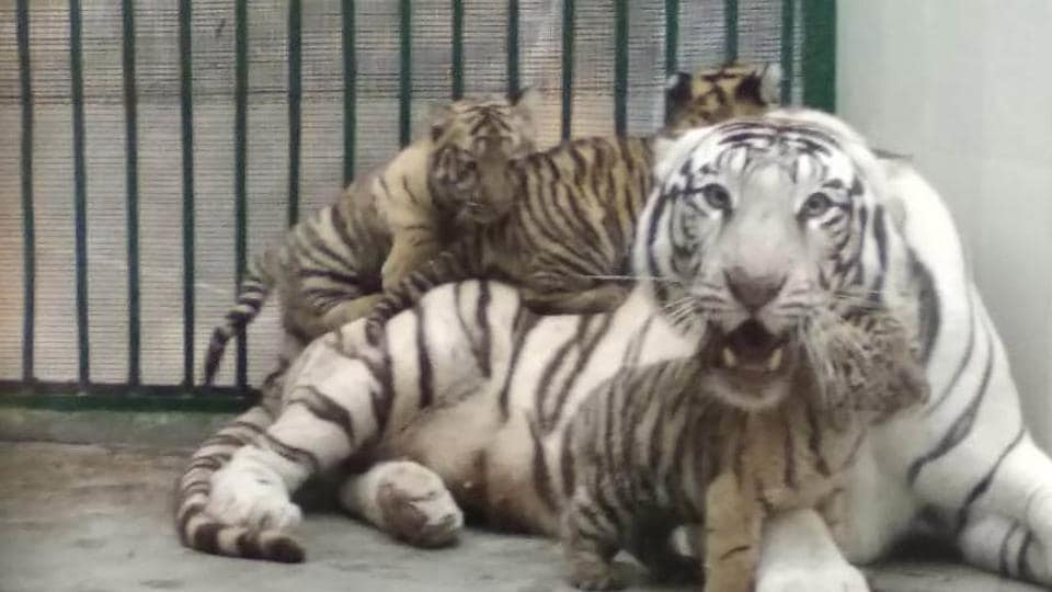 Of the four cubs delivered by Diya about 102 days from the day of pairing with Royal Bengal tiger Aman, one could not survive.