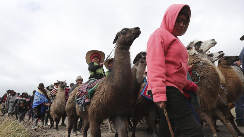 Kids parade on their llamas before the Llamingada. Home to about 300 lagoons and cloud forests, the park was recognized by UNESCO in 2008 because of its importance as a habitat for waterfowl. Ecuador's environmental authorities promote llama breeding and reproduction in the region, noting the animal does not damage the ecosystem like other livestock. (Dolores ochoa / AP)