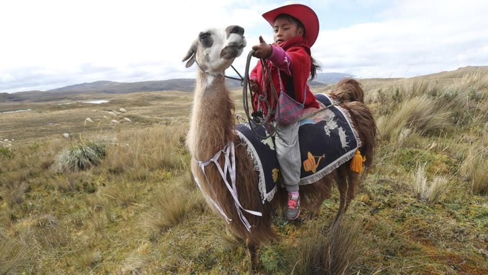 A girl waits on her llama for the start of a race at the Llanganates National Park, Ecuador. At dawn on a cold morning characteristic of Ecuador's highlands, about 20 children got ready to show off their skills in llama race this past weekend. (Dolores Ochoa / AP)